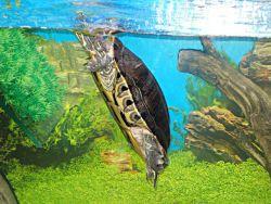красноухой черепахи картинки